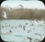 Pintails, Teals, Coots and C. [Company?], McIlhenny's, [Avery Island?, Louisiana]