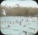 Pintails, Teals, Coots and C. [Company?], McIlhenny's, [Avery Island?, Louisiana]
