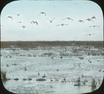 Pintails, and C. [Company?] Hovering, Louisiana by Herbert Keightley Job