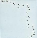 Blue Geese [Snow Geese], Louisiana