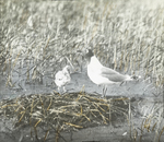 Franklin's Gull and Young, North Dakota