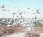 Brown Pelicans, Pelican Island, Florida