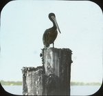 Brown Pelican on Wharf, Saint Petersburg, Florida