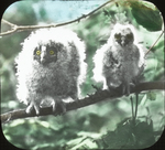 Young Long-eared Owls, Shoal Lake, Manitoba