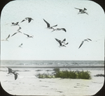 Black Skimmers over Flat, Louisiana