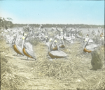 Brown Pelicans in Rookery, Pelican Island, Florida