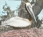Brown Pelican on Nest, Pelican Island, Florida