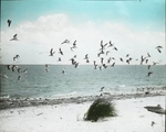 Flock of Black Skimmers, Battledore Island, Louisiana