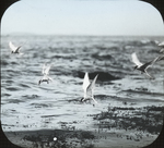 Arctic Terns Fishing, Matinicus, Maine