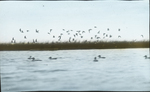 Sandpipers over Duck Decoys, Vermilion, Louisiana
