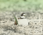 Ring-necked Plover, Brooding, Magdalen Islands [Quebec]