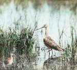 Great Marbled Godwit and Wilson's Phalarope, Assiniboia [Canada]