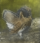 Ruffed Grouse Strutting by Frederick Newton Manross
