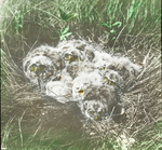 Brood of Short-eared Owls in Nest (seven), North Dakota