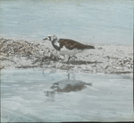 Turnstone, Florida Keys