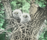 Young Long-eared Owls in Nest, Nelson County, North Dakota