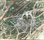 Young Short-eared Owl, Martha's Vineyard, Massachusetts by Owen Durfee
