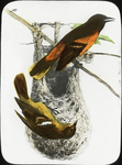 Untitled: Watercolor Drawing Depicting Birds in Natural Setting with Nest (National Audubon Societies, 1974 Broadway, New York)