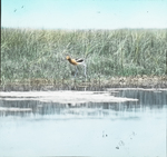American Avocet on Alkaline Pool, Assiniboia [Canada]