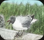 Laughing Gull Returning to Nest, Battledore Island, Louisiana