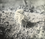 Burrowing Owl Guarding Nest, Steele County, North Dakota