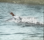 Canvasback Starting to Fly, Vermilion, Louisiana