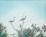Louisiana [Tricolored] Herons in Rookery, Florida