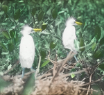 Young American Egrets, Half Grown, South Florida
