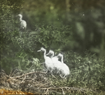 Young Little Blue Herons, by Nest, South Carolina
