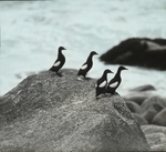 Black Guillemots, Seal Island, Nova Scotia
