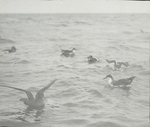 Greater [Shearwaters] and a Sooty Shearwater, Chatham, Massachusetts