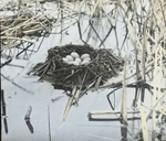 Nest of Pied-billed Grebe, North Dakota