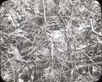 Nest of Black-throated Blue Warblers, Lake Umbagog, Maine by Herbert Keightley Job